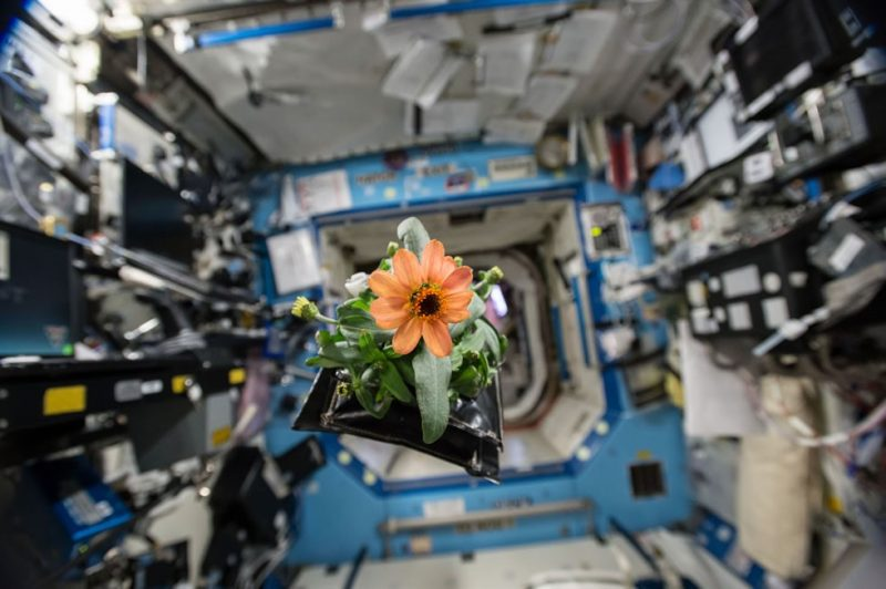 A Zinnia plant floats through a laboratory aboard the ISS