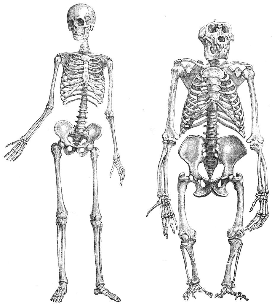 Battle of the skeletons: Humans today vs. Homo erectus